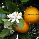 داستان کوتاه شکوفه های درخت پرتقال